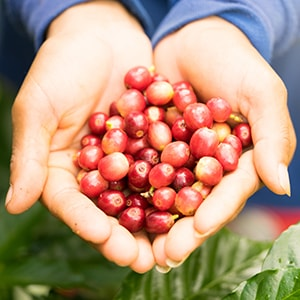Coffee Fruit High In Antioxidants