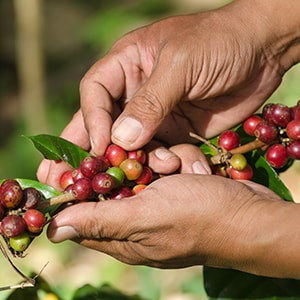 Man Hand Picking Coffee
