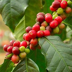 Coffee Fruit On The Bush